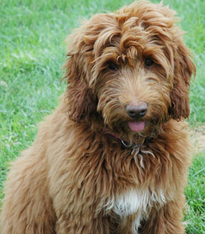 Retired Doodles (Are Not Available for Adoption) Serenity